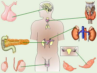sistema endocrino - adriana salazar\'s blog